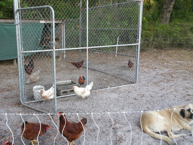 Our egg production team. Rhode Island Reds and Americanas, with a couple of Araucana hens, all running around after bugs and other things, all under the watchful eye of our Anatolian female.