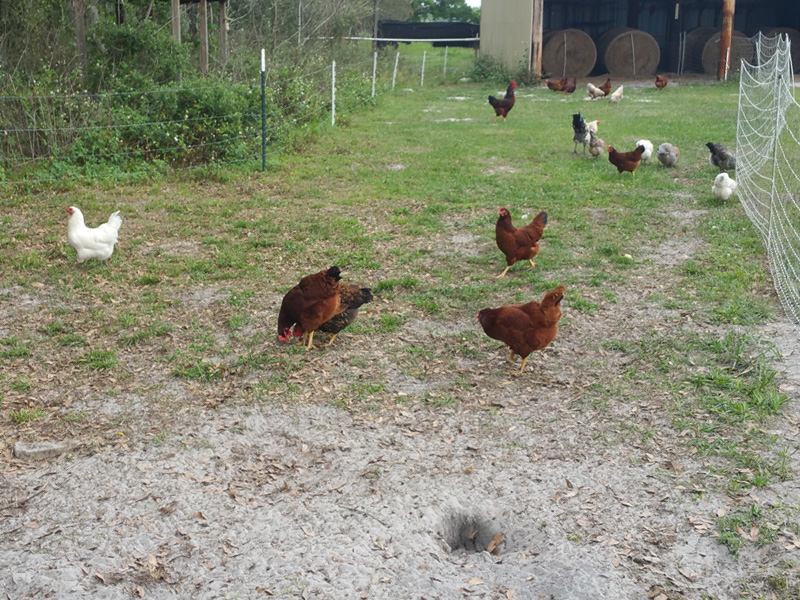 Another shot of our hens out and about foraging, constrained on the right by an electric net fence, and to the left by four wires of hot wire.