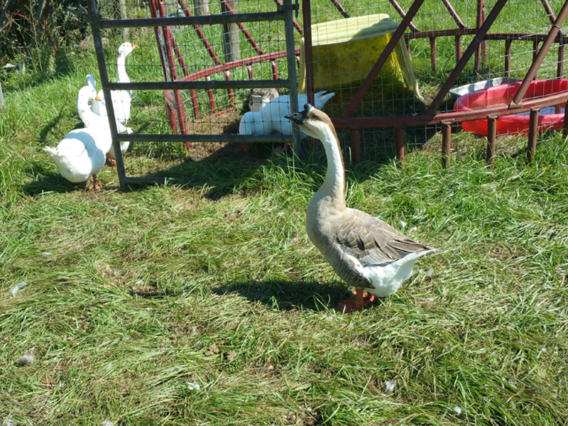 Our African greys, and white Embden geese foraging in the grass.