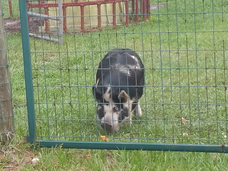 Meet Wilbur our boar...  A stout little fella, who can spot a treat from across the pasture and who can make it to the gate in under 3 seconds!