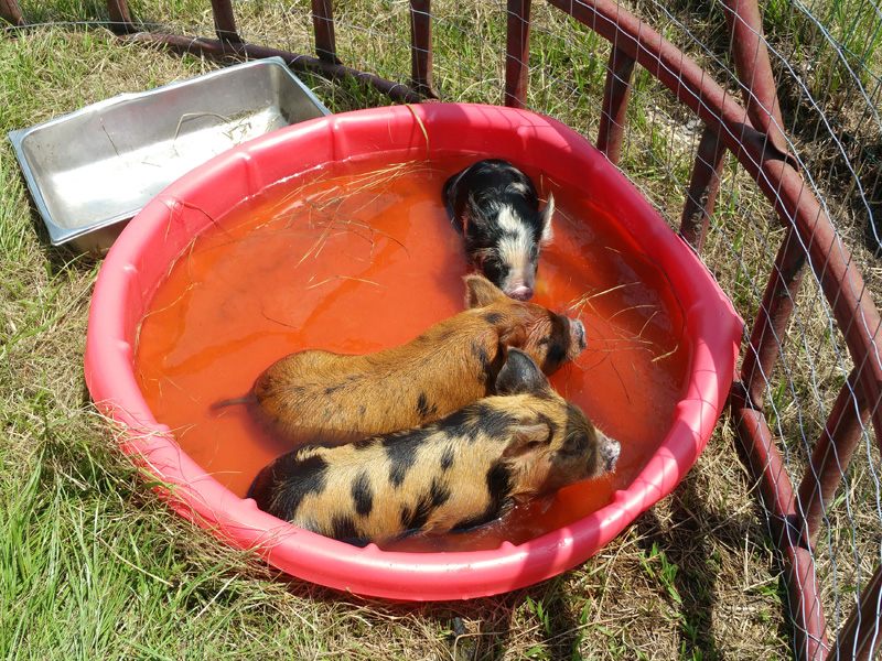 This image is from when they were so small they could all fit in the small plastic pool when they needed to cool off!