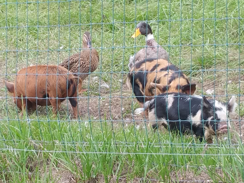 Another shot of our Kunekune's when they were small, out foraging with a couple of our ducks.